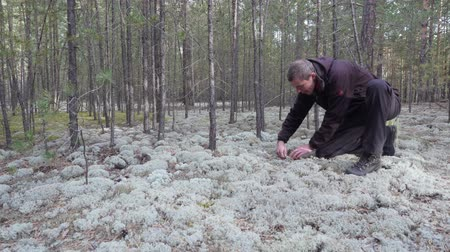 Man with a basket walks in the coniferous forest and looks for mushrooms. Wideo