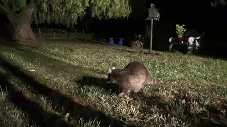 raccoon : Raccoon watches the cameraman while he eats without shyness