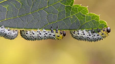 egres : Gooseberry sawfly caterpillars (Nematus ribesi) feeding on red currant leaf Stock mozgókép