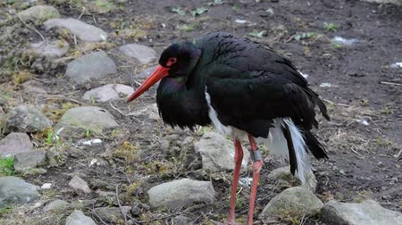 ciconiidae : Black Stork (Ciconia nigra) is a large wading bird in the stork family Ciconiidae. Stock Footage