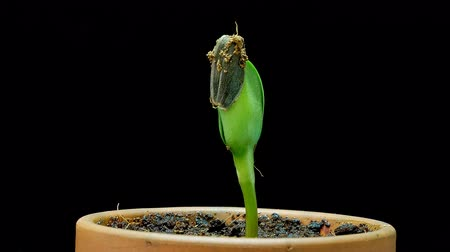 tohum : Germination and growth of sunflower seedling