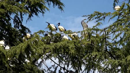 brodění : African sacred ibis (Threskiornis aethiopicus) nesting on a large larch tree.