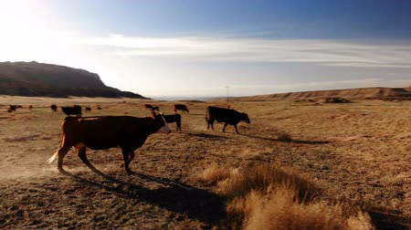 Herd of cows grazing in Utah, United States. Utah rural Landscape. Meadow. Aerial view of farm. View from above, drone shot