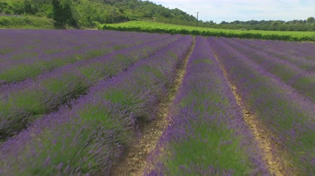 lavender field : AERIAL: Flying over vineyard, lavender rows and golden wheat field in sunny summer