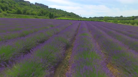levandule : AERIAL: Colorful agriculture of wheat field, purple lavender rows and lush green vineyard in sunny summer in France