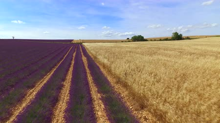 lavanta : AERIAL: Beautiful lines of purple lavender and golden wheat with bales of hay Stok Video