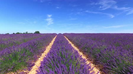 valensole : AERIAL CLOSE UP: Flying above rows of endless lavender field in sunny summer in Provence, France Stock Footage