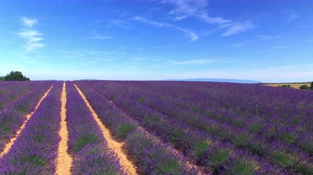 levandule : AERIAL: Stunning big field of purple lavender against the clear blue sky in sunny summer Dostupné videozáznamy
