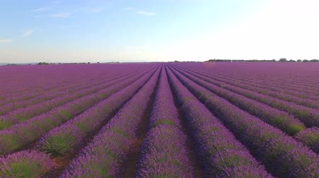levandule : AERIAL: Flying above the beautiful purple lavender rows on a beautiful sunny day