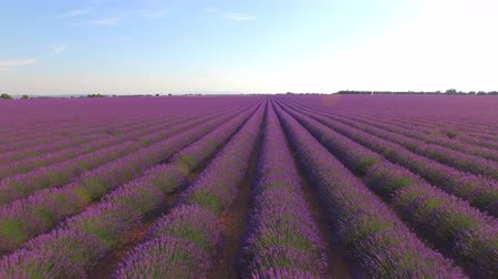 lavender field : AERIAL CLOSE UP: Beautiful purple lavender field on sunny day in Provence, France