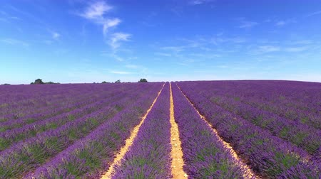 valensole : AERIAL: Flying above the rows of lush purple lavender against clear blue sky