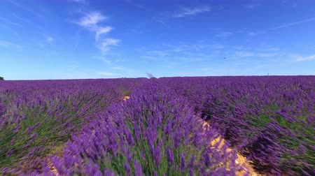 levandule : AERIAL: Beautiful purple lavender field against clear blue sky on a summer day in sunny France Dostupné videozáznamy