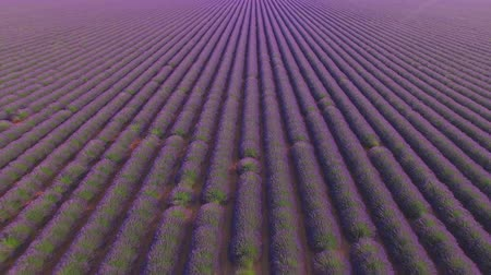 valensole : AERIAL CLOSE UP: Beautiful endless purple lavender field on a beautiful summer day
