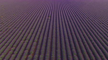 valensole : AERIAL: Endless fields of purple lavender rows in Provence, France on a beautiful sunny day Stock Footage
