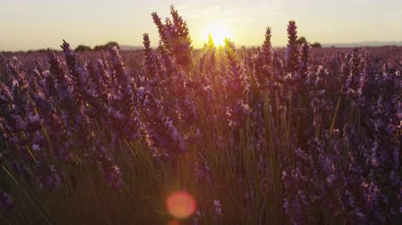 lavender field : CLOSE UP: Beautiful endless lavender field at summer sunset