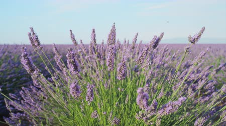 lavanda : CLOSE UP: Fragrant flowers of lavender blooming in early summer Vídeos