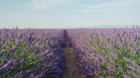 valensole : CLOSE UP: Endless lines of blooming lavender in sunny France on a beautiful summer day