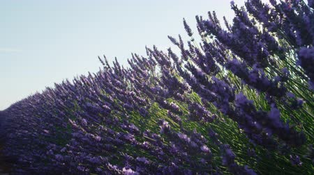 levandule : CLOSE UP: Morning sun shining through beautiful blooming lavender field in sunny Provence, France