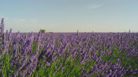 valensole : CLOSE UP: Beautiful blooming lavender field in sunny Provence France Stock Footage