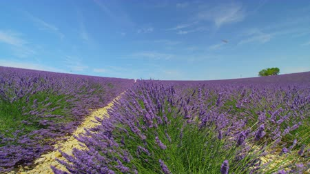 valensole : Rows of beautiful violet lavender field in sunny summer in Provence, France