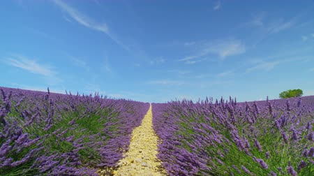 valensole : CLOSE UP: Endless lines of beautiful purple lavender blooming against clear blue sky in sunny France Stock Footage