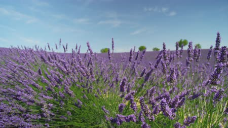 valensole : CLOSE UP: Beautiful purple lavender blooming in sunny spring in France