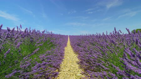 idílico : Endless lines of purple lavender blooming in sunny spring