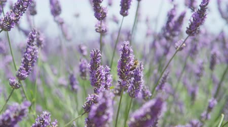 valensole : CLOSE UP: Bees pasturing on beautiful blooming lavender in sunny spring Stock Footage