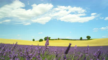 valensole : Amazing landscape of blooming lavender and golden wheat field in Provence, France Stock Footage