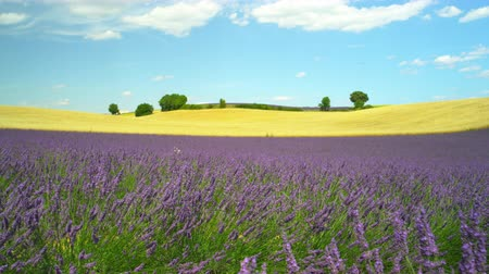 valensole : Beautiful French landscape with golden wheat field and blooming lavender Stock Footage