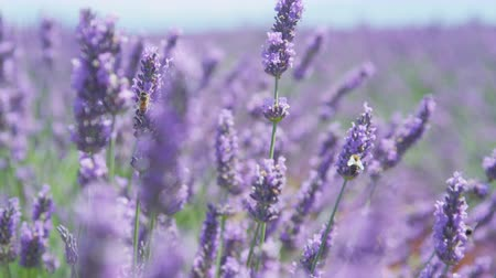 valensole : CLOSE UP: Bees collecting honey in endless field of blooming lavender