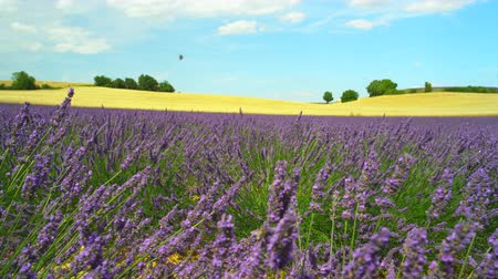 levandule : Bees pasturing on blooming lavender and golden wheat field