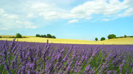 valensole : Amazing landscape with purple lavender and yellow wheat field