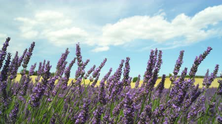 valensole : CLOSE UP: Amazing French land with yellow wheat and purple lavender Stock Footage