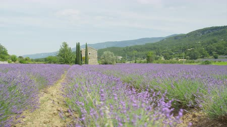 lavanda : Rows of lavender field in front of old French style vintage stone house