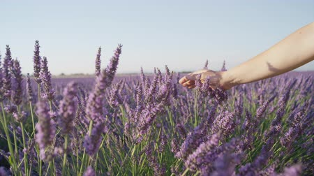 valensole : CLOSE UP: Hand touching lavender flowers in big purple field