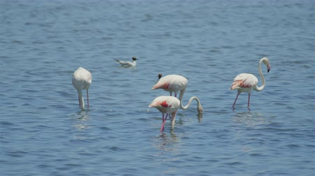 flamingi : Big flock of flamingos pasturing in the water Wideo