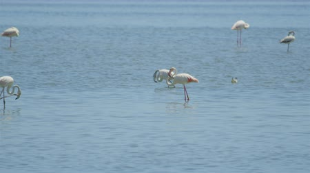 flamingi : Big white flamingos walking in the water searching for food