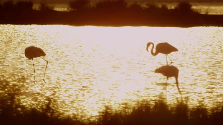 flamingi : Flamingos in water at beautiful golden sunset