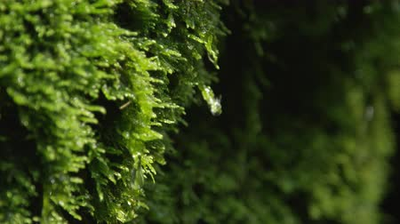 soft earth : CLOSE UP: Water drops dripping off a wet moss