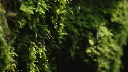 liken : CLOSE UP: Water drops falling off a wet moss Stok Video