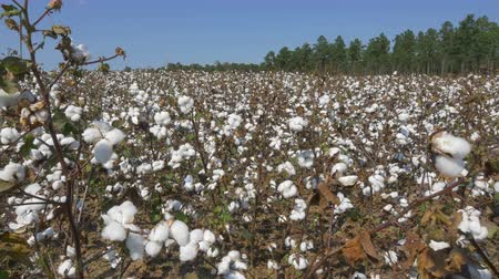 CLOSE UP: Agricultural field full of white cotton bolls