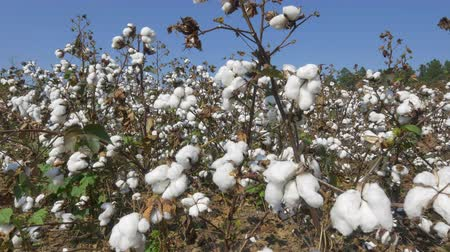 bavlna : CLOSE UP: Beautiful cotton field full of white bolls