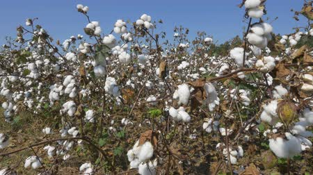 bavlna : CLOSE UP: Agricultural cotton field full of white raw cotton flower bolls
