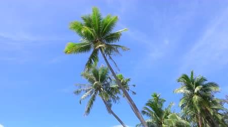 pacific islands : SLOW MOTION CLOSE UP: Tall palm trees swaying in the wind on tropical island