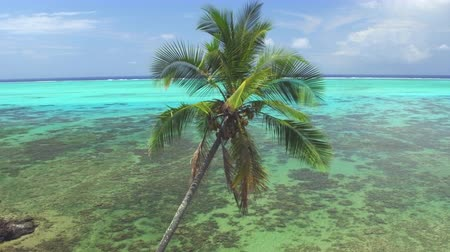 hurma ağacı : AERIAL: Flying around tall lush palm tree canopy on exotic beach coastline facing big beautiful ocean lagoon with vast coral reef garden Stok Video