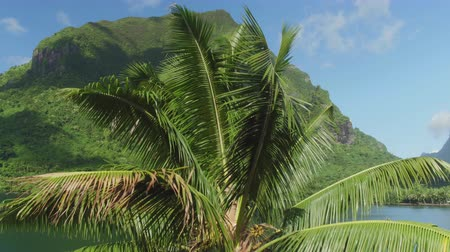 Полинезия : AERIAL CLOSE UP: Flying over big lush palm tree swinging in summer breeze above the ocean on exotic sunny volcanic island