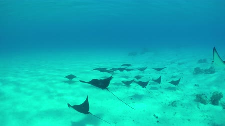 shark : SLOW MOTION UNDERWATER: Beautiful wild stingray rays swimming in crystal clear ocean above the sandy lagoon bottom Stock Footage