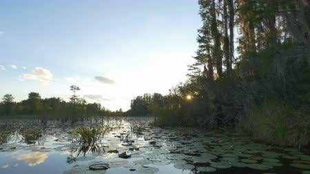 cypřiš : AERIAL: Romantic wetlands swamp with water lilies and tall mossy trees at beautiful summer sunset. Golden sun shining through cypress swamp tree canopies covered in amazing spanish moss. Dostupné videozáznamy