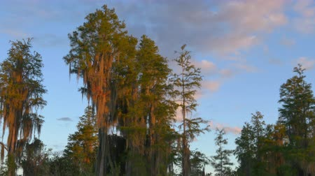 camsı : AERIAL: Beautiful cypress swamp tree growing out of the water. Lush canopies covered in romantic spanish moss in wetlands swamp on a beautiful summer evening Stok Video